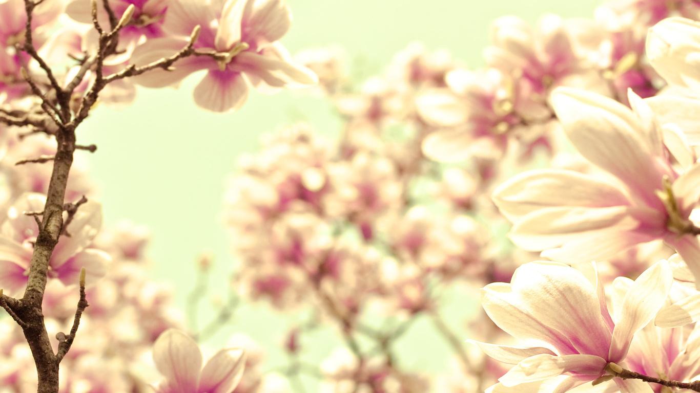 farbe magnolia zarte rosa zweig sahne blumen foto flowers blumen in nanopics. Black Bedroom Furniture Sets. Home Design Ideas