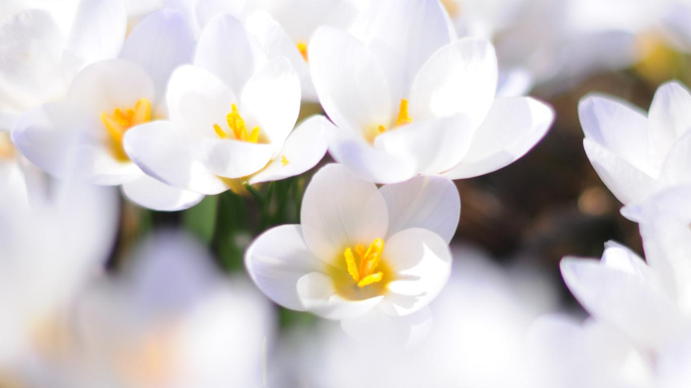 Крокусы весна белый макро первоцвет