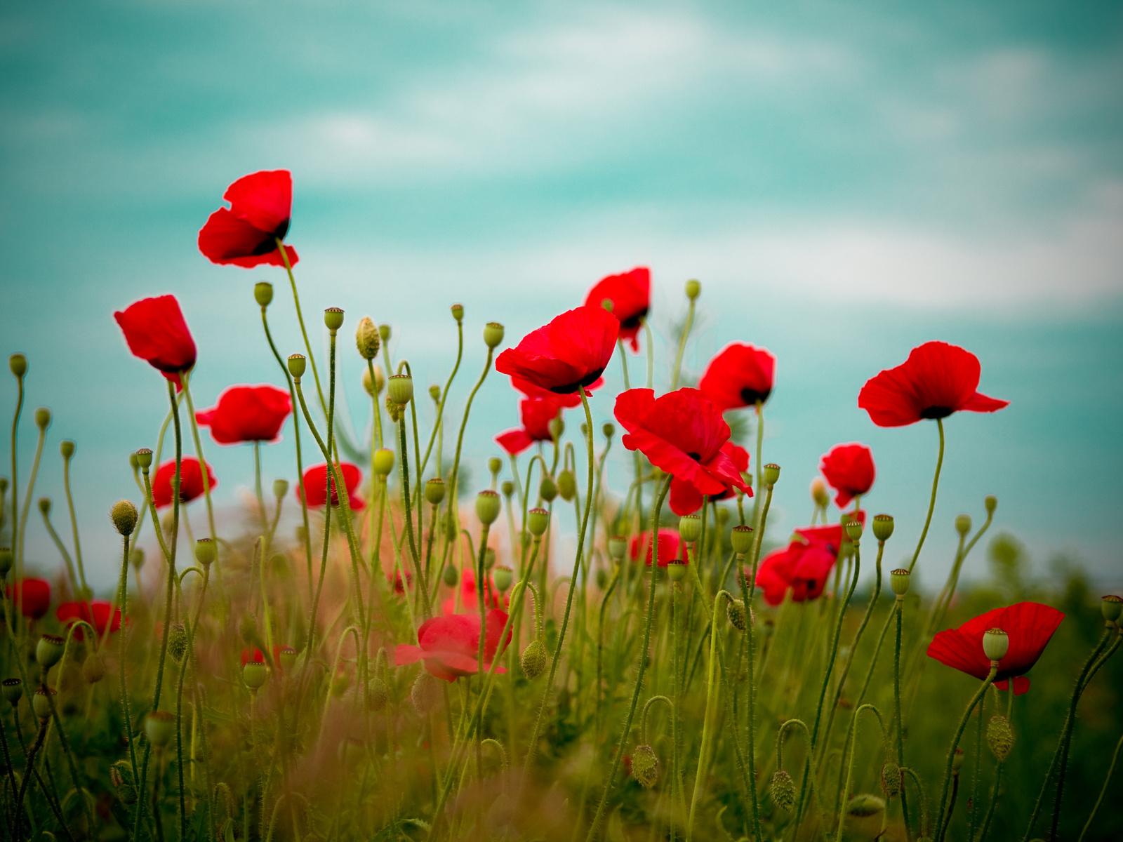Маки красный цветы природа поле