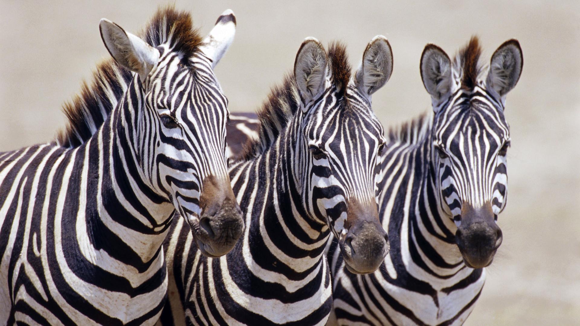 Stripes black white afrika tiere tiere foto 1920x1080 animals